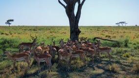 Ένα κοπάδι του impala δροσίζει στη σκιά κάτω από ένα δέντρο Στοκ Εικόνες