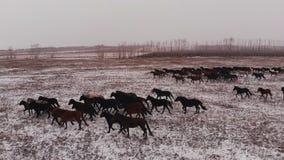Ένα κοπάδι των άγριων αλόγων που τρέχουν σε έναν χιονισμένο τομέα φιλμ μικρού μήκους