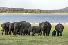 Ένα κοπάδι των άγριων ελεφάντων στη Σρι Λάνκα στοκ εικόνες