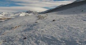Ένα κοπάδι των άγριων προβάτων στη φύση του Κιργιστάν φιλμ μικρού μήκους