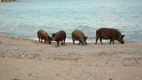 Ένα κοπάδι των άγριων χοίρων ψάχνει τα τρόφιμα στην ακτή απόθεμα βίντεο