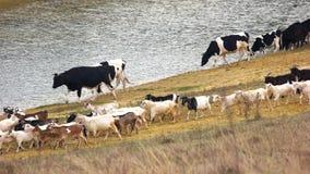 Ένα κοπάδι των αγελάδων που περπατούν στην όχθη ποταμού απόθεμα βίντεο