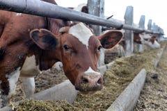 Ένα κοπάδι των αγελάδων που χρησιμοποιούν το σανό σε μια σιταποθήκη σε ένα γαλακτοκομικό αγρόκτημα Στοκ φωτογραφίες με δικαίωμα ελεύθερης χρήσης