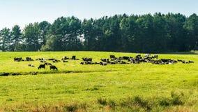 Ένα κοπάδι των αγελάδων στην πράσινη χλόη κοντά στο δασικό χρονικό σφάλμα απόθεμα βίντεο