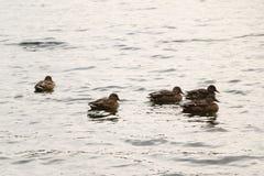 Ένα κοπάδι των αγριοχήνων λούζει στη λίμνη φθινοπώρου στο νεφελώδη καιρό Στοκ Εικόνες