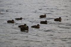 Ένα κοπάδι των αγριοχήνων λούζει στη λίμνη φθινοπώρου στο νεφελώδη καιρό Στοκ φωτογραφίες με δικαίωμα ελεύθερης χρήσης