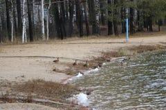Ένα κοπάδι των αγριοχήνων λούζει στη λίμνη φθινοπώρου στο νεφελώδη καιρό Στοκ εικόνες με δικαίωμα ελεύθερης χρήσης