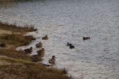 Ένα κοπάδι των αγριοχήνων λούζει στη λίμνη φθινοπώρου στο νεφελώδη καιρό Στοκ Εικόνα