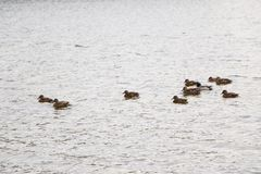 Ένα κοπάδι των αγριοχήνων λούζει στη λίμνη φθινοπώρου στο νεφελώδη καιρό Στοκ φωτογραφία με δικαίωμα ελεύθερης χρήσης