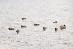 Ένα κοπάδι των αγριοχήνων λούζει στη λίμνη φθινοπώρου στο νεφελώδη καιρό Στοκ Φωτογραφία