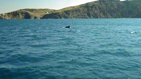 Ένα κοπάδι των δελφινιών πηδά από το νερό Δελφίνια που χαράζουν τα ψάρια Θερινές διακοπές θαλασσίως απόθεμα βίντεο
