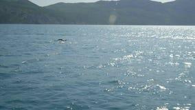 Ένα κοπάδι των δελφινιών πηδά από το νερό Δελφίνια που χαράζουν τα ψάρια Θερινές διακοπές θαλασσίως φιλμ μικρού μήκους