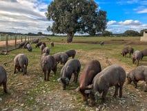 Ένα κοπάδι των ιβηρικών χοίρων που βόσκουν wilds στο αγρόκτημα στην Ισπανία, στο λιβάδι με τη βαλανιδιά ακροποταμιών και το μπλε  Στοκ εικόνα με δικαίωμα ελεύθερης χρήσης