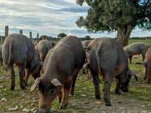 Ένα κοπάδι των ιβηρικών χοίρων που βόσκουν wilds στο αγρόκτημα στην Ισπανία, στο λιβάδι με τη βαλανιδιά ακροποταμιών και το μπλε  Στοκ φωτογραφία με δικαίωμα ελεύθερης χρήσης