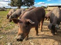 Ένα κοπάδι των ιβηρικών χοίρων που βόσκουν wilds στο αγρόκτημα στην Ισπανία, στο λιβάδι με τη βαλανιδιά ακροποταμιών και το μπλε  Στοκ Φωτογραφία