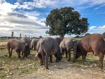 Ένα κοπάδι των ιβηρικών χοίρων που βόσκουν wilds στο αγρόκτημα στην Ισπανία, στο λιβάδι με τη βαλανιδιά ακροποταμιών και το μπλε  Στοκ Φωτογραφίες