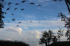 Ένα κοπάδι των μαύρων κορμοράνων πετά πέρα από τη λιμνοθάλασσα Curonian, Λιθουανία σκιαγραφία των σκοτεινών πουλιών στο υπόβαθρο  στοκ εικόνα με δικαίωμα ελεύθερης χρήσης