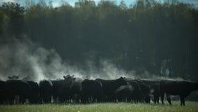 Ένα κοπάδι των μαύρων ταύρων του Angus σε ένα λιβάδι στα ξημερώματα φιλμ μικρού μήκους