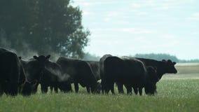 Ένα κοπάδι των μαύρων ταύρων του Angus σε ένα λιβάδι στα ξημερώματα απόθεμα βίντεο