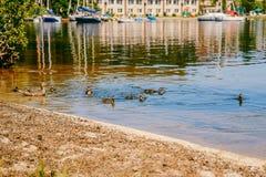 Ένα κοπάδι των παπιών που επιπλέουν σε μια σαφή λίμνη το καλοκαίρι Στοκ φωτογραφίες με δικαίωμα ελεύθερης χρήσης