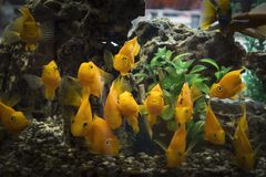 Ένα κοπάδι των περίεργων πορτοκαλιών παπαγάλων ψαριών στο ενυδρείο στοκ εικόνες με δικαίωμα ελεύθερης χρήσης