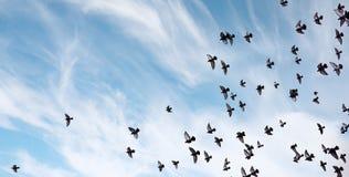 Ένα κοπάδι των περιστεριών πετά πέρα από τον ουρανό Μύγα πουλιών ενάντια στο s Στοκ Φωτογραφία