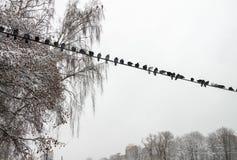 Ένα κοπάδι των περιστεριών το χειμώνα στοκ εικόνα