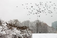 Ένα κοπάδι των περιστεριών το χειμώνα στοκ εικόνες