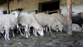 Ένα κοπάδι των προβάτων που στηρίζονται στη μάντρα του Αγρόκτημα ζωικού κεφαλαίου, κοπάδι των προβάτων απόθεμα βίντεο