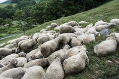 Ένα κοπάδι των προβάτων στο λιβάδι στα πρόβατα daegwallyeong καλλιεργεί στοκ φωτογραφία με δικαίωμα ελεύθερης χρήσης