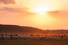 Ένα κοπάδι των προβάτων στο φως ηλιοβασιλέματος στοκ φωτογραφίες με δικαίωμα ελεύθερης χρήσης