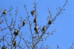 Ένα κοπάδι των waxwings στους κλάδους στοκ φωτογραφίες με δικαίωμα ελεύθερης χρήσης