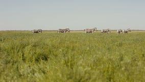 Ένα κοπάδι των zebras βόσκει στη στέπα Η χλόη κινείται στον αέρα απόθεμα βίντεο
