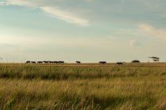 Ένα κοπάδι των άγριων αλόγων Στοκ Εικόνα