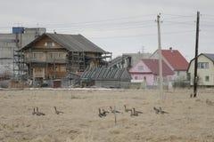 Ένα κοπάδι των άγριων χήνων την άνοιξη Στοκ φωτογραφία με δικαίωμα ελεύθερης χρήσης