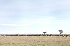 Ένα κοπάδι των άγριων Buffalo στο λιβάδι Masai Mara Στοκ φωτογραφία με δικαίωμα ελεύθερης χρήσης