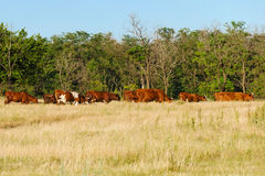 Ένα κοπάδι των αγελάδων που βόσκουν ή που περπατούν κατ' οίκον στην ξηρά χλόη λιβαδιών τοπίο αγροτικό Στοκ φωτογραφίες με δικαίωμα ελεύθερης χρήσης