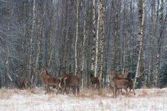 Ένα κοπάδι των ελαφιών των διαφορετικών ηλικιών σε έναν χιονισμένο τομέα στα πλαίσια μιας χειμερινής σημύδας δασικό Deers προσεκτ Στοκ Εικόνα