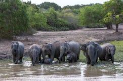 Ένα κοπάδι των ελεφάντων στο εθνικό πάρκο Yala στη νότια Σρι Λάνκα στοκ εικόνα