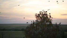 Ένα κοπάδι των κοράκων που περιβάλλουν στον ουρανό απόθεμα βίντεο