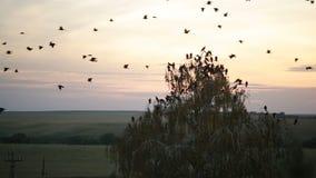 Ένα κοπάδι των κοράκων που περιβάλλουν στον ουρανό φιλμ μικρού μήκους