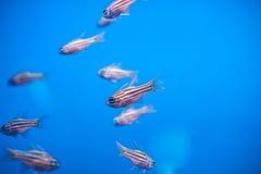 Ένα κοπάδι των μικρών όμορφων ψαριών Στοκ φωτογραφία με δικαίωμα ελεύθερης χρήσης