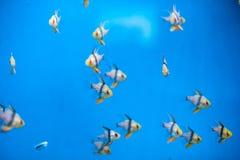 Ένα κοπάδι των μικρών όμορφων ψαριών Στοκ Φωτογραφίες