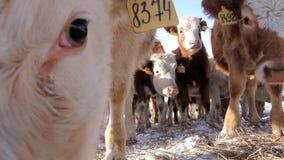 Ένα κοπάδι των νέων αγελάδων απόθεμα βίντεο