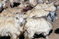 Ένα κοπάδι των προβάτων που διασχίζουν το πέρασμα ZojiLa, Ladakh, Τζαμού και Κασμίρ, Ινδία Στοκ Φωτογραφίες
