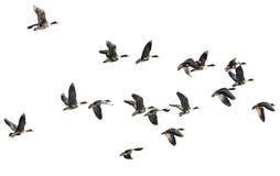 Ένα κοπάδι των χήνων Στοκ Φωτογραφία