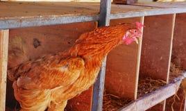 Ένα κοτόπουλο που λαλά σε ένα σπίτι κοτών το πρωί στοκ εικόνα