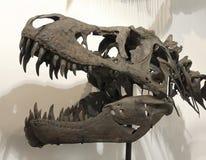 Ένα κρανίο τ-Rex στα απολιθώματα & τα μεταλλεύματα GeoDecor Στοκ Φωτογραφία