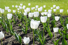 Ένα κρεβάτι λουλουδιών με τις άσπρες τουλίπες Άσπρες τουλίπες, βολβοειδείς εγκαταστάσεις λευκό λουλουδιών Στοκ Φωτογραφίες