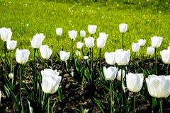 Ένα κρεβάτι λουλουδιών με τις άσπρες τουλίπες Άσπρες τουλίπες, βολβοειδείς εγκαταστάσεις λευκό λουλουδιών Στοκ Εικόνα
